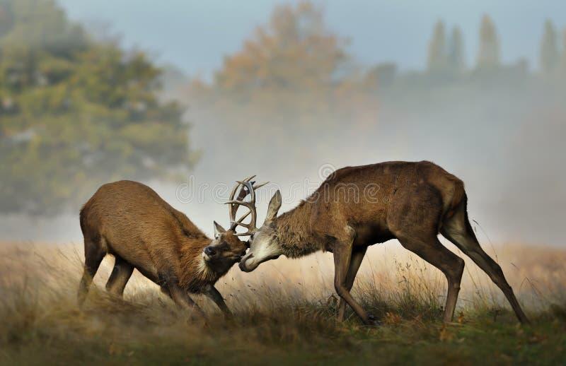 战斗在rutting季节期间的马鹿 库存图片
