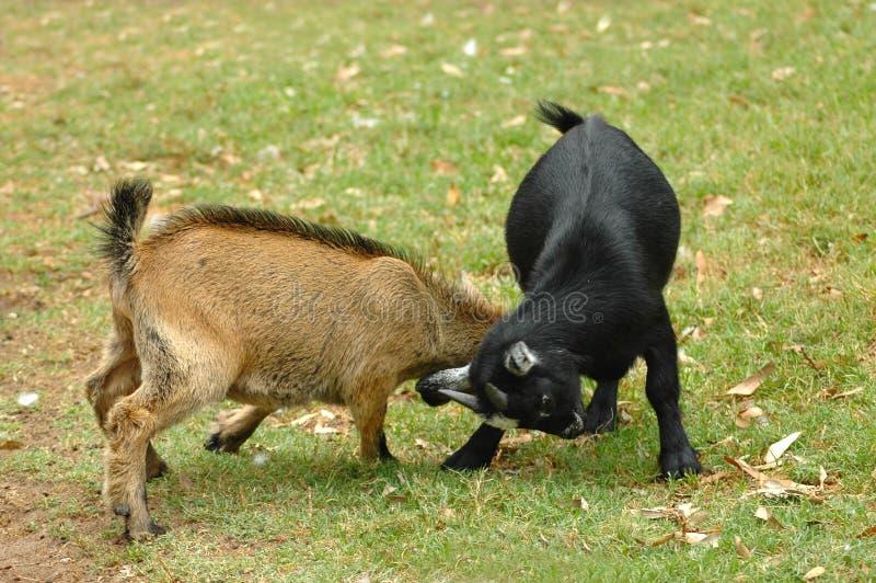 战斗山羊 库存照片