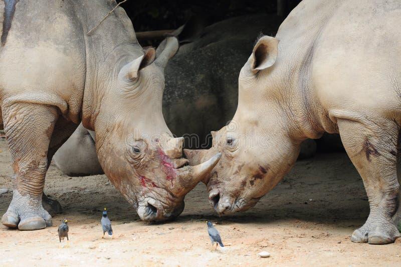 战斗犀牛二 库存照片