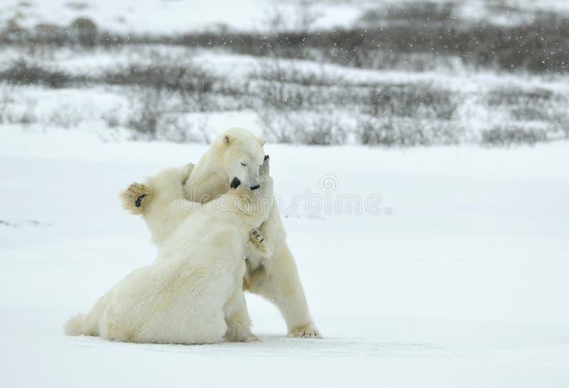 战斗的北极熊(熊属类maritimus)在雪 库存图片