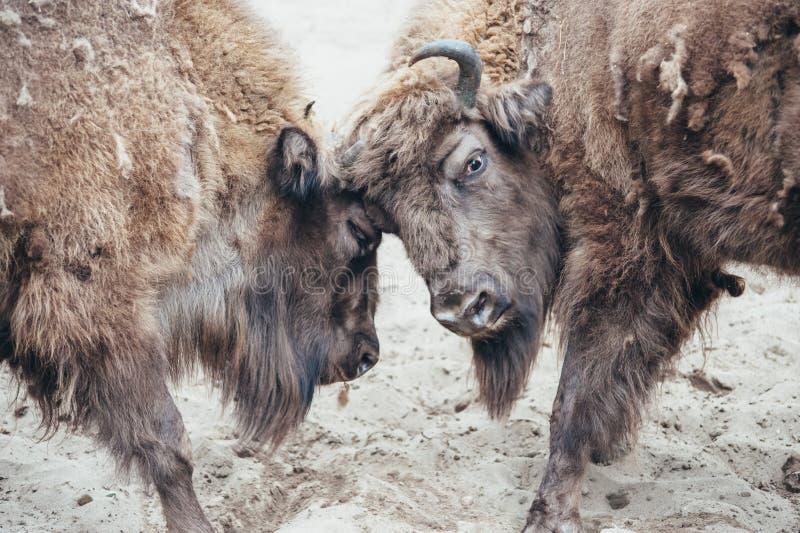 战斗的北美野牛 免版税库存照片