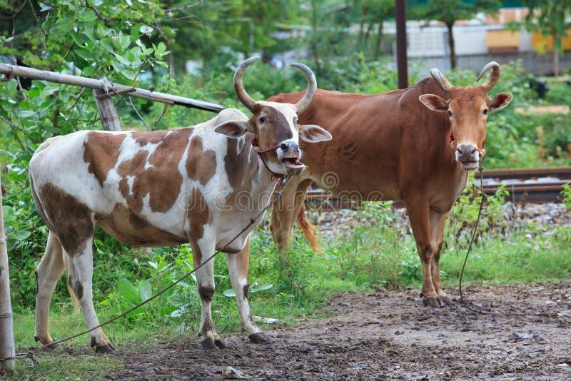 战斗的泰国地方家养的母牛在泰国的南部的传统 免版税库存图片