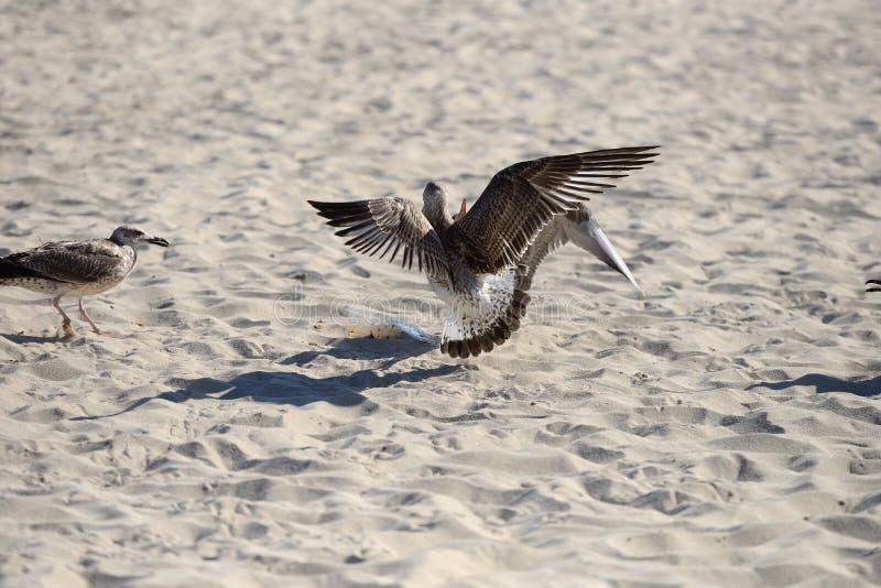 战斗的海鸥吃东西从一个塑料盒由pi离开 库存照片