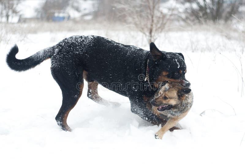 战斗的狗rottweiler和小狗 图库摄影