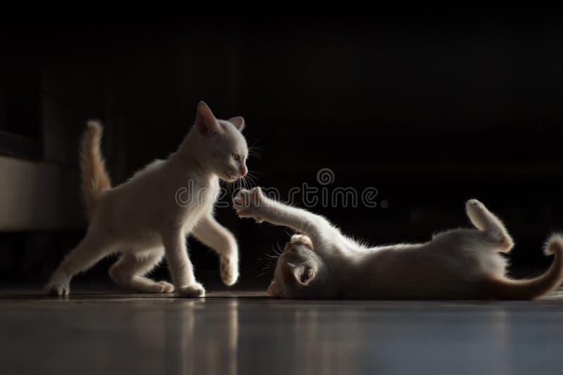 战斗的猫 库存图片