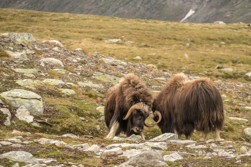战斗的麝牛挪威 库存照片