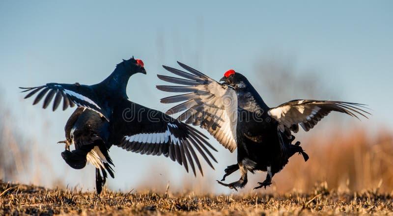 战斗的黑松鸡(Lyrurus tetrix) 春天-交配季节 库存图片
