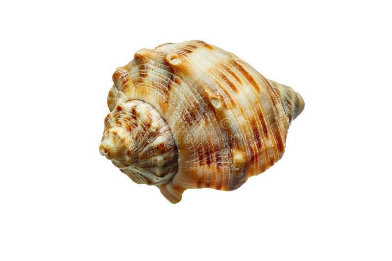截去的查出的路径海运壳白色 免版税库存照片
