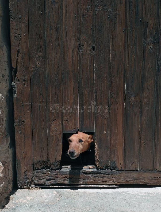 戳他的头的狗通过孔 库存图片