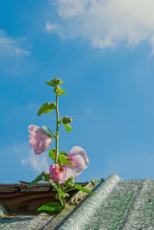 戳通过屋顶的桃红色蜀葵 免版税库存照片