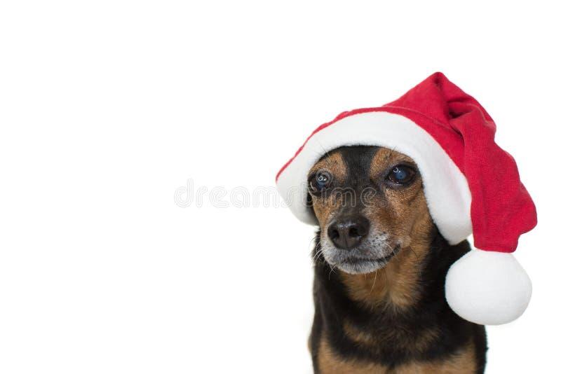 戴一个红色圣诞节帽子的逗人喜爱的年长短毛猎犬狗 查出 库存图片