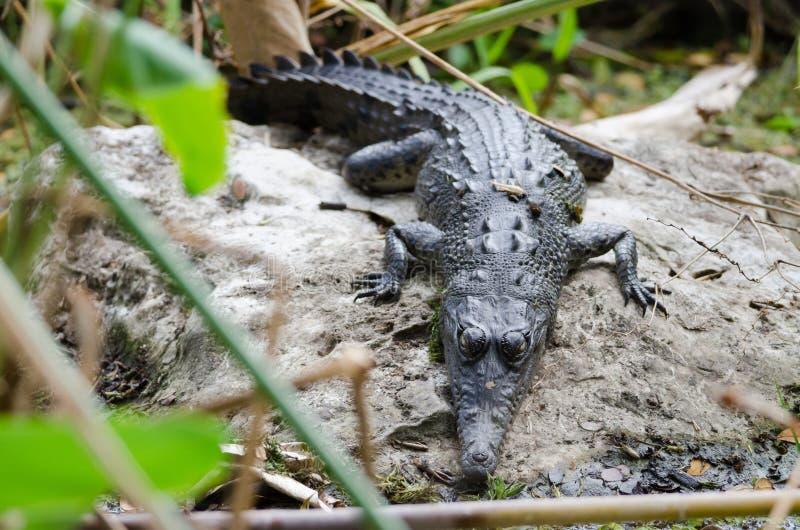 戴了眼镜凯门鳄的crocodilus 免版税库存图片