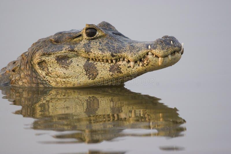 戴了眼镜凯门鳄的pantanal 免版税库存图片
