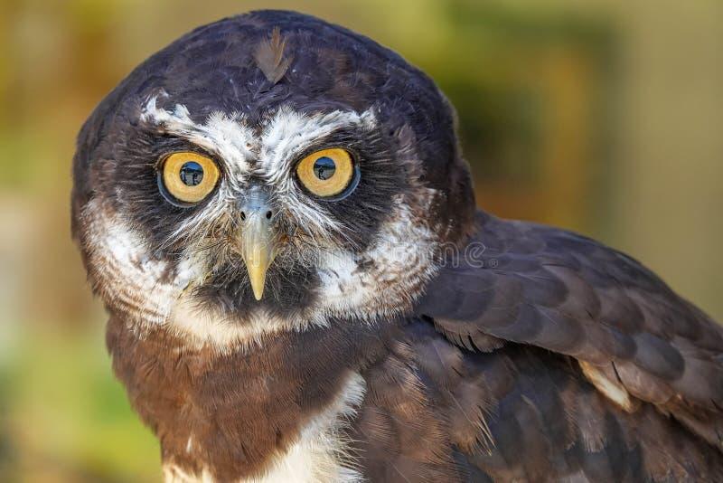 戴了眼镜猫头鹰Pulsatrix perspicillata画象  库存照片