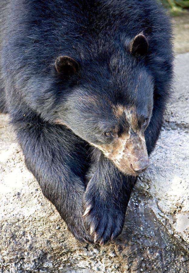 戴了眼镜1头的熊 免版税图库摄影