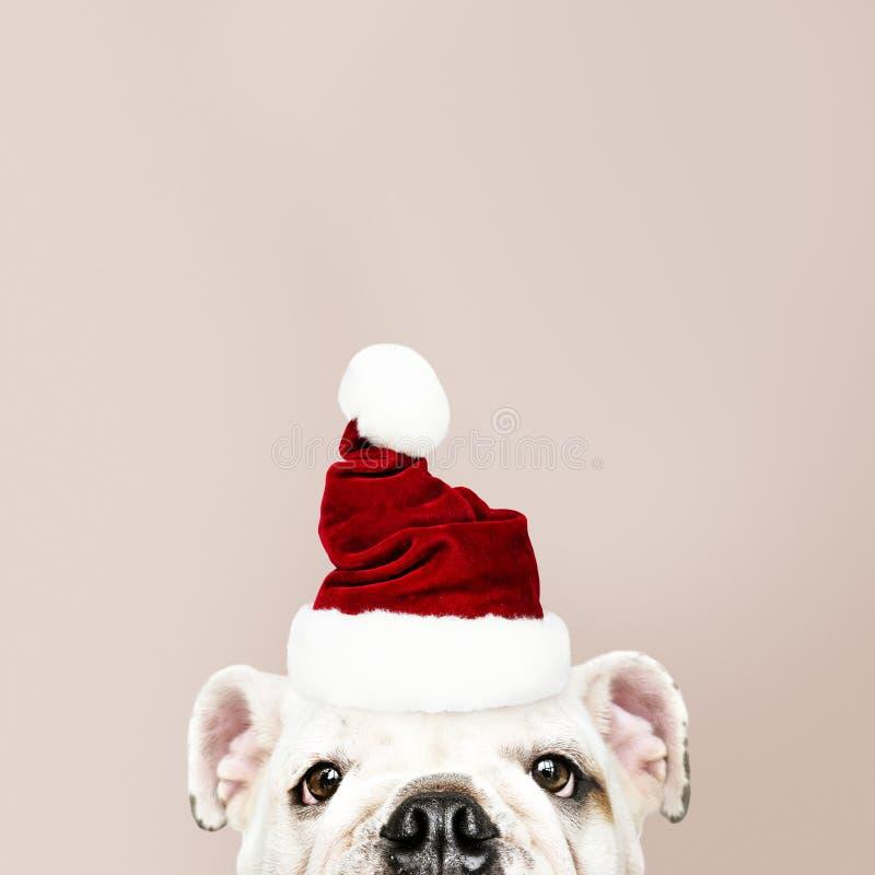 戴圣诞老人帽子的一只逗人喜爱的牛头犬小狗的画象 免版税库存照片
