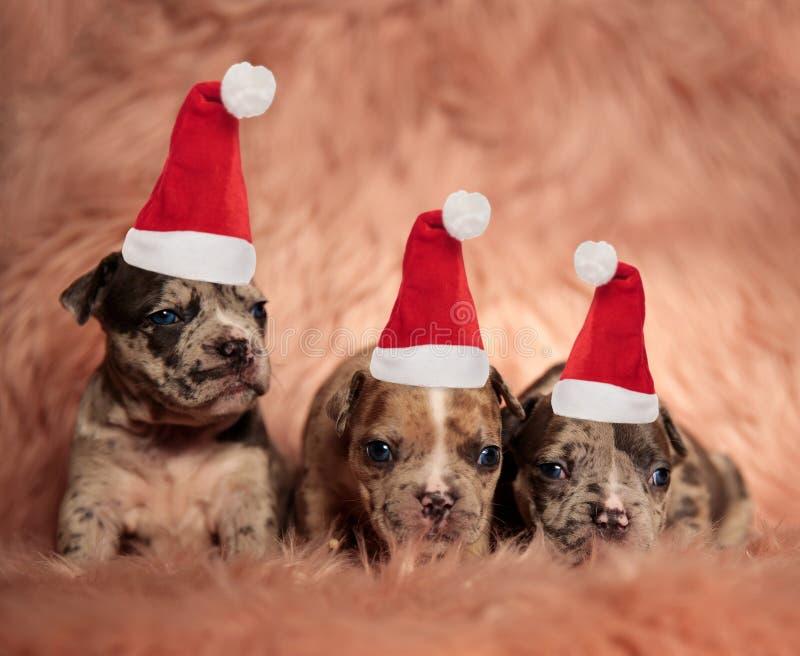 戴圣诞老人帽子的三只小的美国恶霸小狗 图库摄影