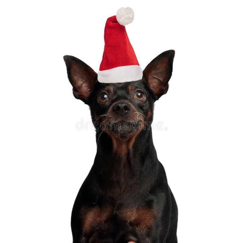 戴圣诞老人帽子的哀伤的小的短毛猎犬狗 库存图片