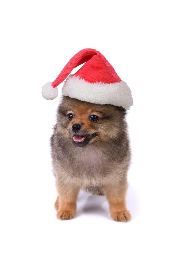 戴在白色backgroun的Pomeranian小狗红色圣诞老人帽子 库存照片