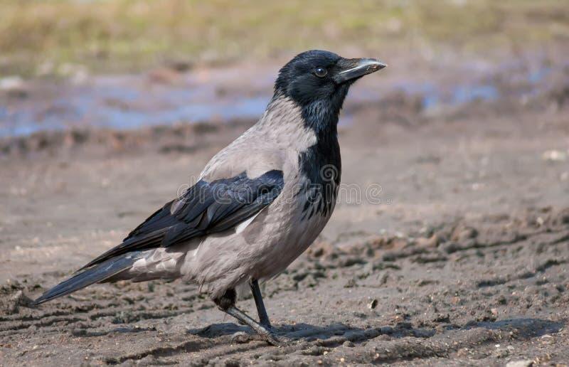 戴头巾乌鸦走湿地球上在早期的春天 库存照片