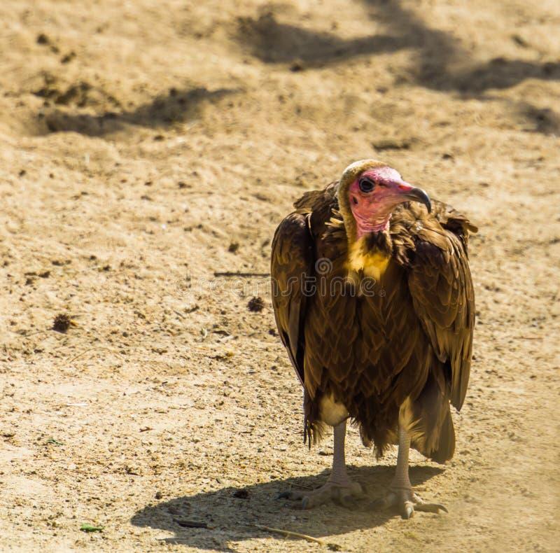 戴头巾雕,从非洲,危急地危险的动物硬币的沙漠的热带净化剂鸟 库存照片