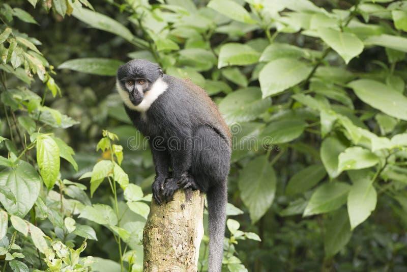 戴安娜猴子(长尾猴属戴安娜) 库存图片