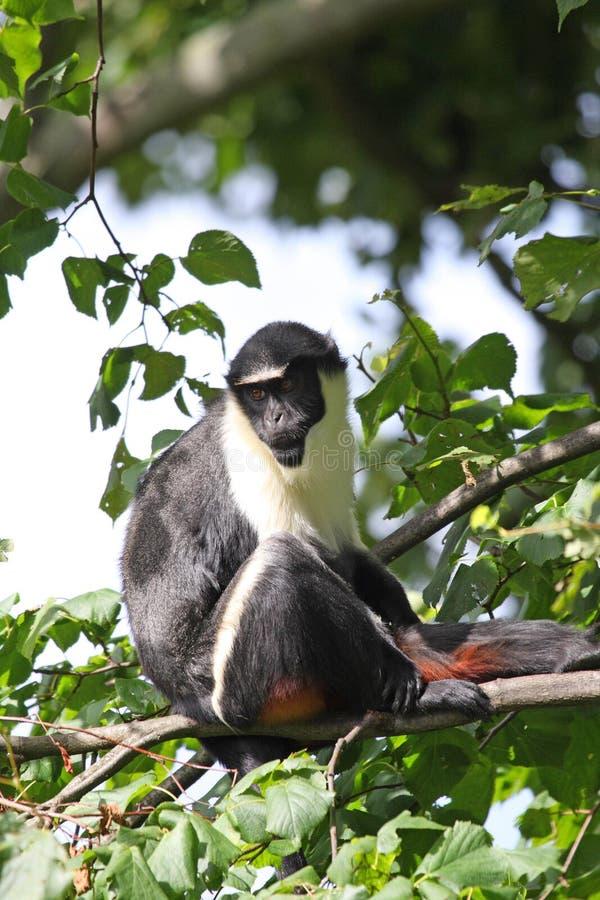 戴安娜猴子 库存照片