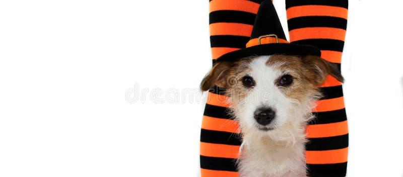 戴巫婆或巫术师帽子的一条逗人喜爱的万圣夜狗的横幅坐 库存图片