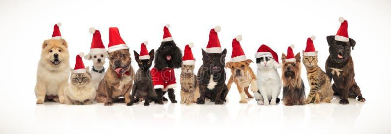 戴帽子的可爱的圣诞老人宠物坐,站立和说谎 免版税库存照片