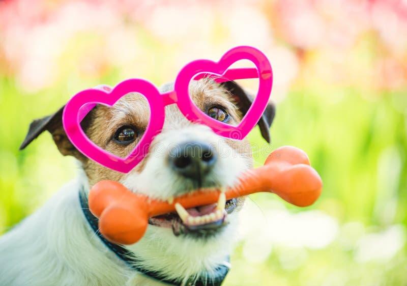 戴心形的眼镜的可爱的狗握骨头作为情人节礼物 库存图片