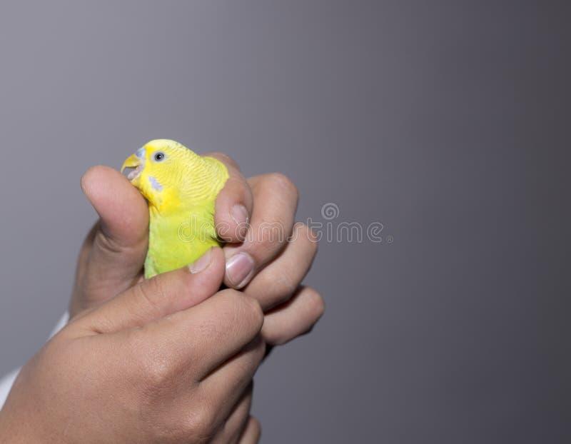 戴拿着手指黄色波浪鹦鹉的眼镜的美丽的小女孩 免版税图库摄影
