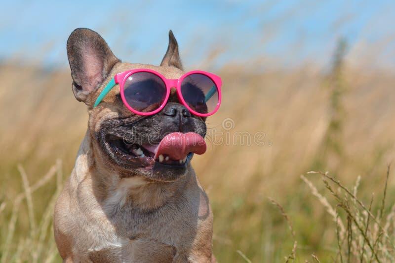 戴桃红色太阳镜的滑稽的逗人喜爱和愉快的法国牛头犬狗在夏天 免版税库存照片