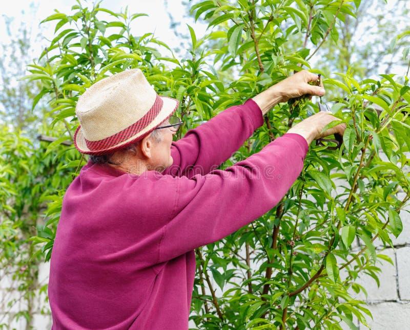 戴眼镜的年长农夫修剪树的在庭院里户外 库存照片