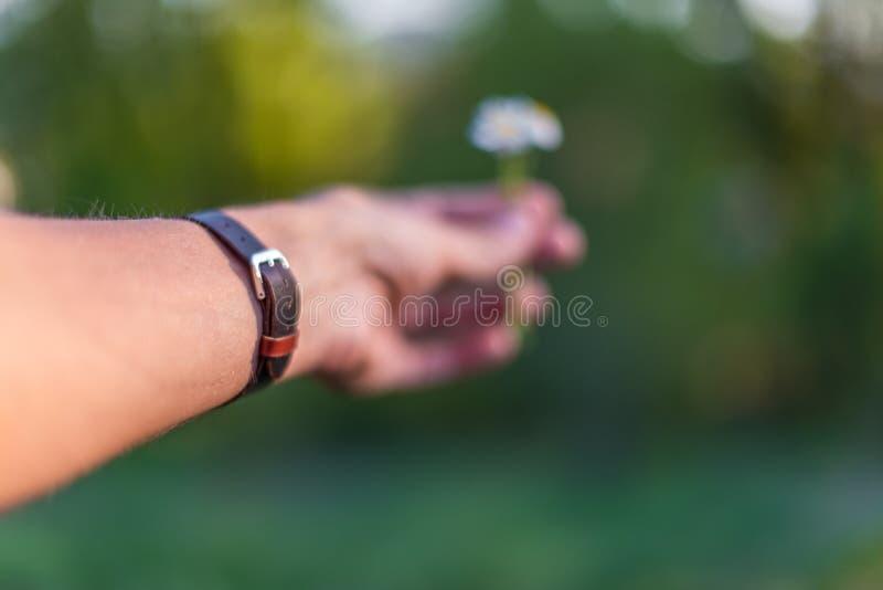 戴着棕色皮革镯子的手给雏菊 免版税图库摄影