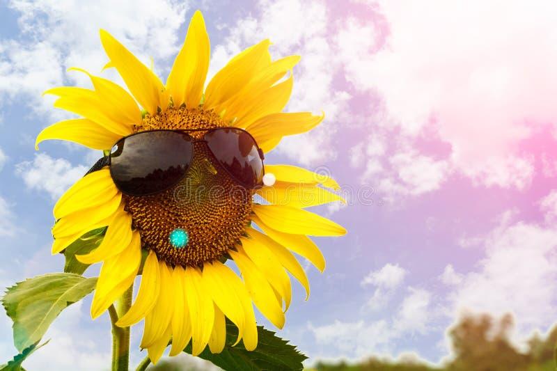 戴着蓝天背景眼镜的向日葵 库存照片