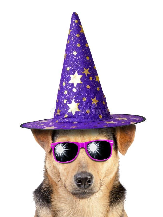 戴色的太阳镜的滑稽的万圣夜狗巫婆或巫术师帽子被隔绝 免版税库存图片