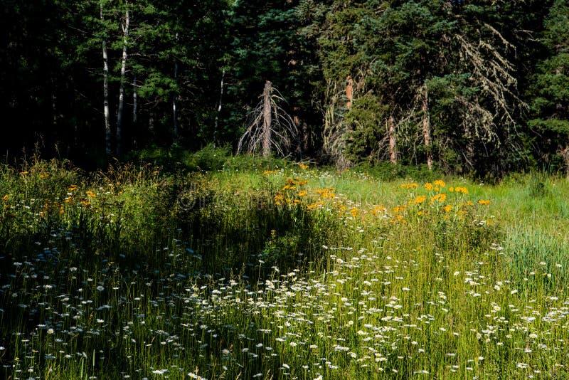 戴西和黄色野花草甸在清洁在一个高山森林里 免版税库存图片