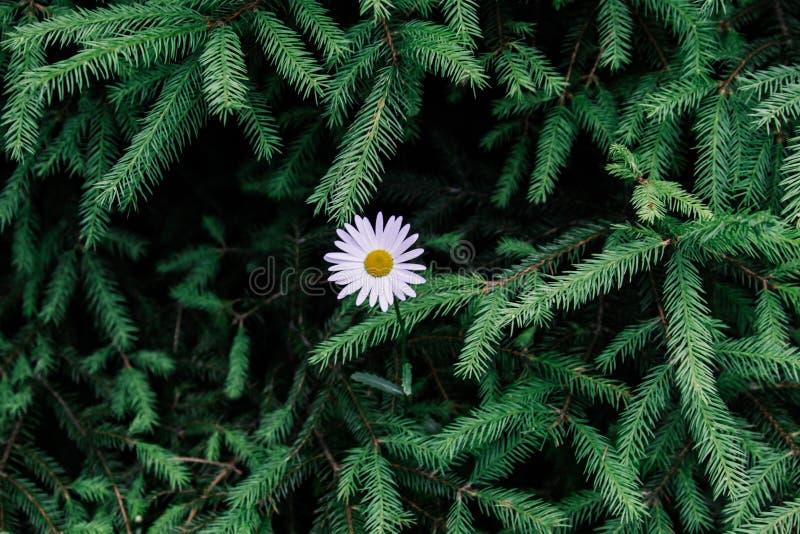 戴西在云杉绿色分支背景的森林里  与自由空间的美好的自然本底 库存图片