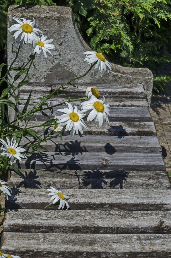 戴西或延命菊花秀丽绽放在修道院庭院,在沃尔舍茨镇附近的山巴尔干里, 库存图片