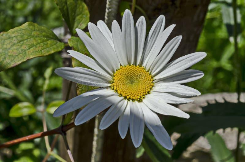 戴西或延命菊花秀丽绽放在修道院庭院,在沃尔舍茨镇附近的山巴尔干里, 图库摄影