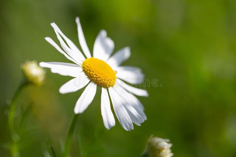 戴西美丽的特写镜头在花的领域的与绿色bokeh的 库存照片