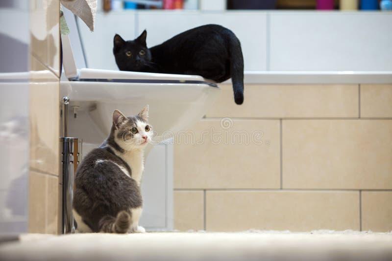 户内两只好的逗人喜爱的聪明的黑白和灰色家猫小猫在卫生间里 在家保留动物宠物,爱和关心 免版税库存图片
