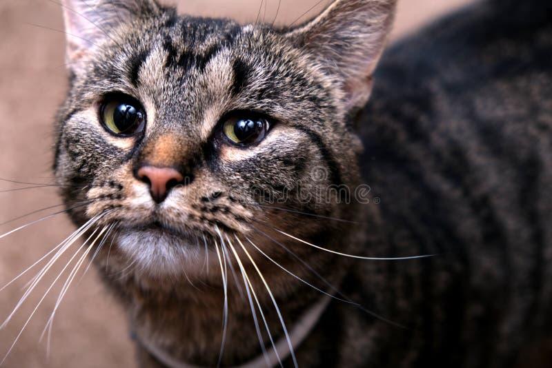 户内调查距离的逗人喜爱的猫 免版税图库摄影