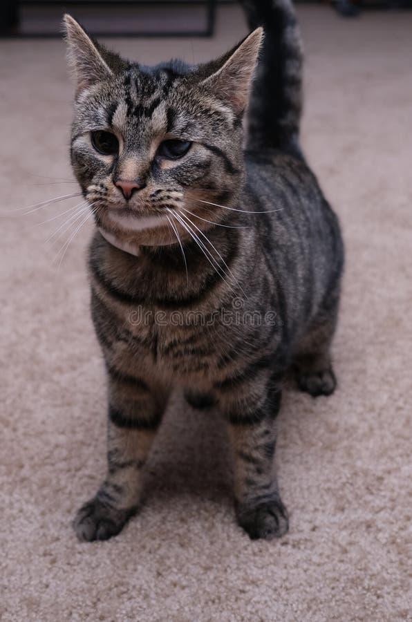 户内逗人喜爱的猫与黑眼圈 免版税库存图片