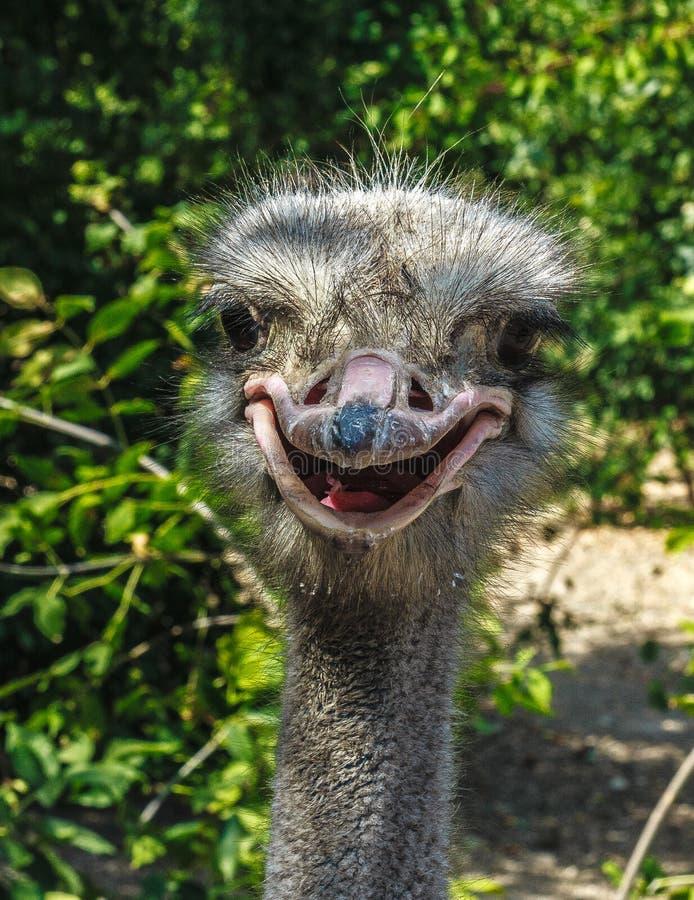 户外一个滑稽的驼鸟特写镜头的画象与开放嘴 免版税库存图片