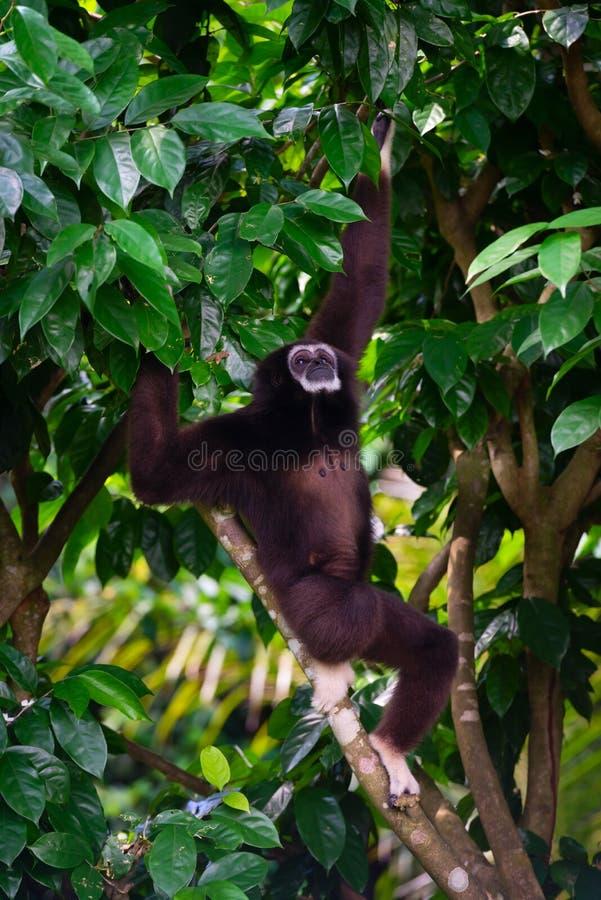 户外一只长臂猿在垂悬从密林树的森林里 免版税库存图片