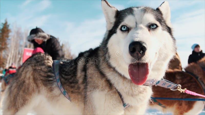 户外一条西伯利亚爱斯基摩人狗的画象 英尺长度 高尚的拉雪橇狗特写镜头画象Chukchi多壳的品种狗 免版税图库摄影