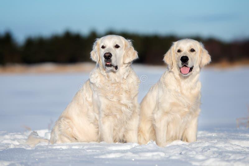 户外两条金毛猎犬狗在冬天 免版税库存照片
