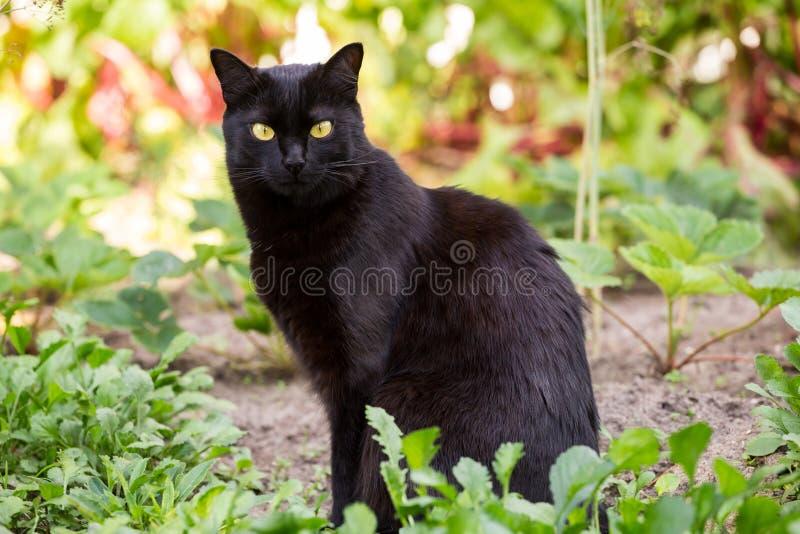 户外严肃的孟买黑逗人喜爱的猫画象在草 免版税库存照片