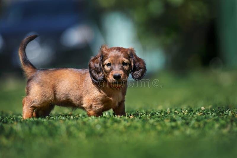 户外可爱的达克斯猎犬小狗在夏天 免版税库存照片